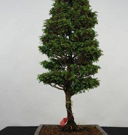 Bonsai Cipresso, Chamaecyparis sp. , no. 5898