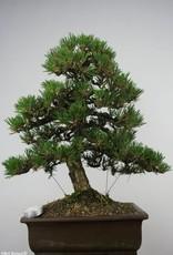 Bonsai Pinonero kotobuki, Pinus thunbergii kotobuki, no. 5905