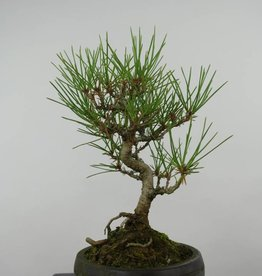 Bonsai Shohin Japanese Black Pine, Pinus thunbergii, no. 6011