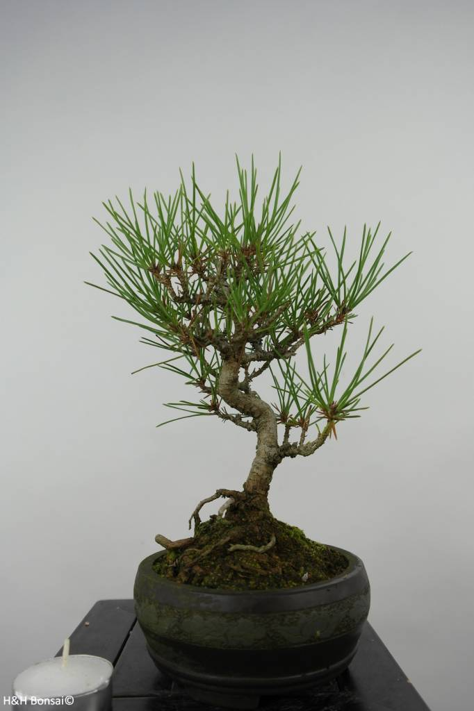 Bonsai Shohin Pino nero, Pinus thunbergii, no. 6011