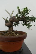 Bonsai Taxus cuspidata, no. 6018