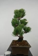 Bonsai Pino a cinque aghi, Pinus parviflora, no. 6054