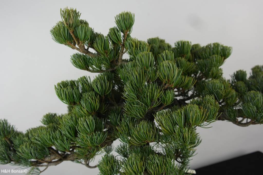 Bonsai Pino bianco giapponese, Pinus parviflora, no. 6156