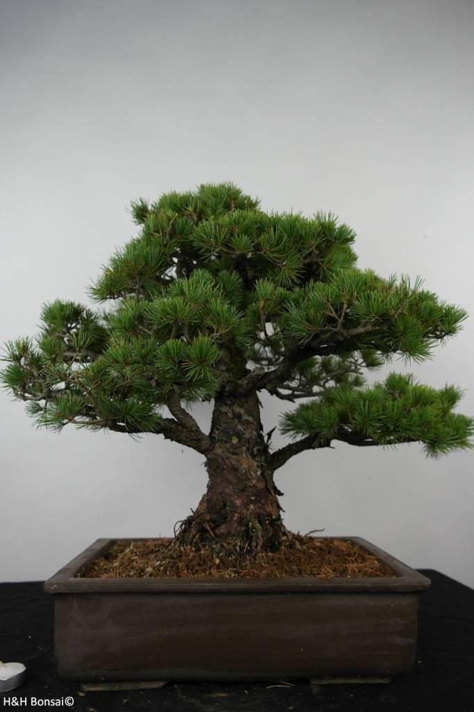 Bonsai Pino bianco giapponese, Pinus parviflora, no. 6177