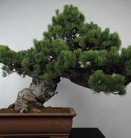 Bonsai White pine, Pinus parviflora, no. 6178