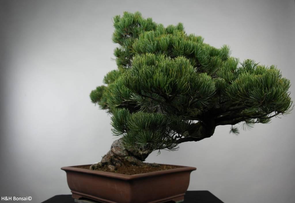 Bonsai Pino bianco giapponese, Pinus parviflora, no. 6178