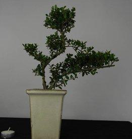 Bonsai Japanese Holly, Ilex crenata, no. 6256