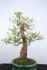 Bonsai Japanese snowbell, Styrax japonicus, no. 5804