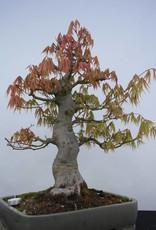 Bonsai Acero palmato, Acer palmatum, no. 5805