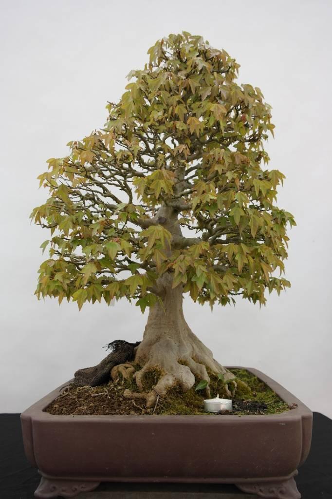Bonsai Acero tridente, Acer buergerianum, no. 5522