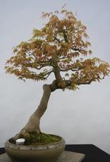 Bonsai Acero palmato, Acer palmatum, no. 5806