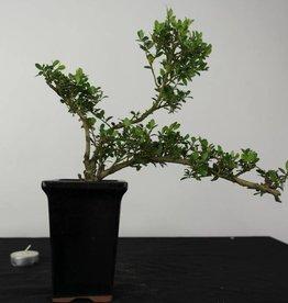 Bonsai Ilex crenata, no. 6381