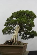 Bonsai Ginepro cinese itoigawa, Juniperus chinensis itoigawa, no. 5178