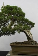 Bonsai Chinese Juniper, Juniperus chinensis itoigawa, no. 5178