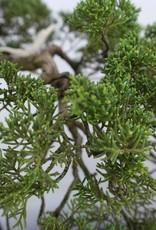 Bonsai Ginepro cinese, Juniperus chinensis, no. 5798