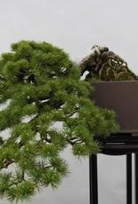 Bonsai Pino a cinque aghi, Pinus parviflora, no. 5140