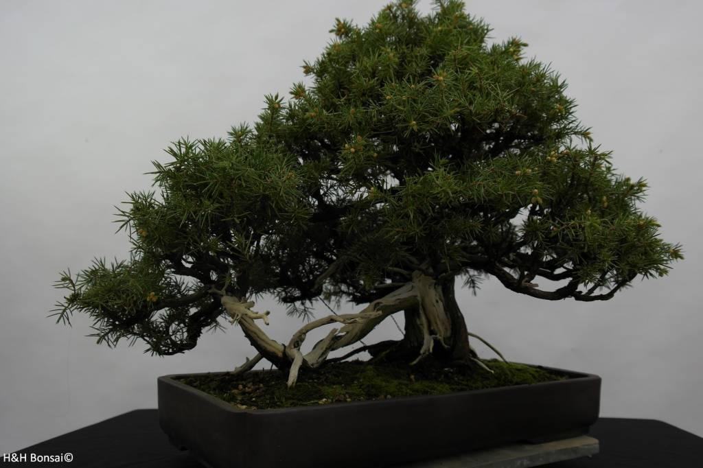 Bonsai Needle Juniper, Juniperus rigida, no. 5144