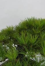 Bonsai Japanese Black Pine, Pinus thunbergii, no. 5505