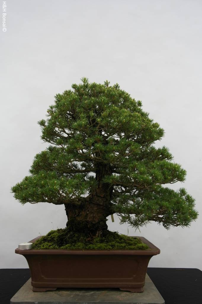 Bonsai Pino a cinque aghi kokonoe, Pinus parviflora kokonoe, no. 5260