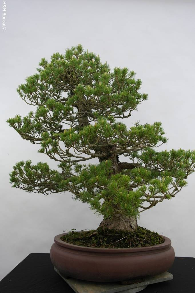 Bonsai Pino a cinque aghi zuisho, Pinus parviflora zuisho, no. 5259
