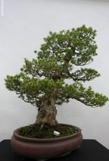 Bonsai White pine zuisho, Pinus parviflora zuisho, no. 5259