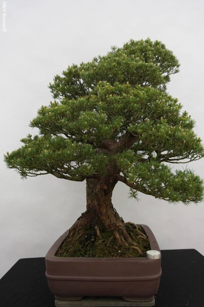 Bonsai White pine kokonoe, Pinus parviflora kokonoe, no. 5179