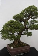 Bonsai Pino a cinque aghi kokonoe, Pinus parviflora kokonoe, no. 5179