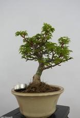 Bonsai Japanese maple shishigashira, Acer palmatum shishigashira, no. 6414