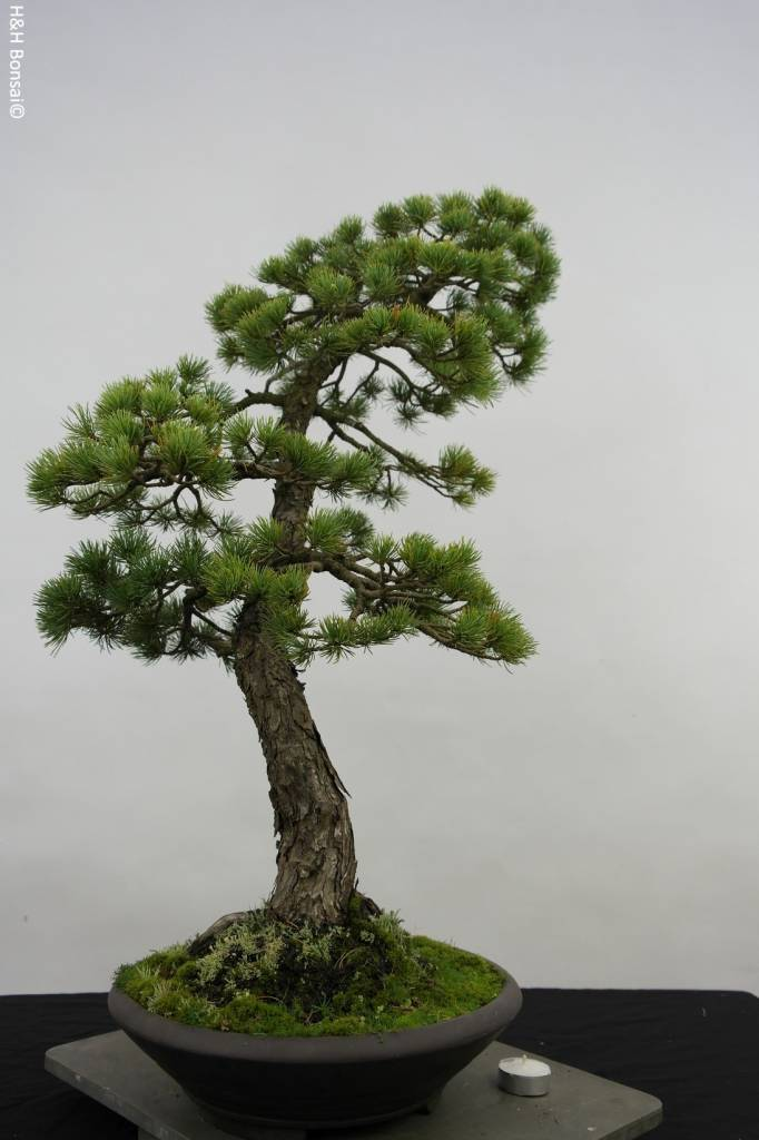 Bonsai Pino a cinque aghi, Pinus penthaphylla, no. 5503