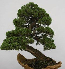 Bonsai Ginepro cinese itoigawa, Juniperus chinensis itoigawa, no. 5169
