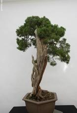 Bonsai Chinese Juniper, Juniperus chinensis itoigawa, no. 5165
