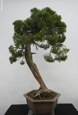Bonsai Ginepro cinese itoigawa, Juniperus chinensis itoigawa, no. 5165