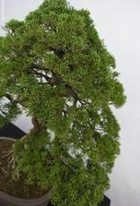 Bonsai Ginepro cinese itoigawa, Juniperus chinensis itoigawa, no. 5122