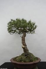 Bonsai Japanese Black Pine, Pinus thunbergii sp., no. 6430