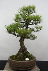 Bonsai Pino nero, Pinus thunbergii, no. 6431