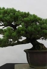 Bonsai Pino bianco, Pinus pentaphylla, no. 6432