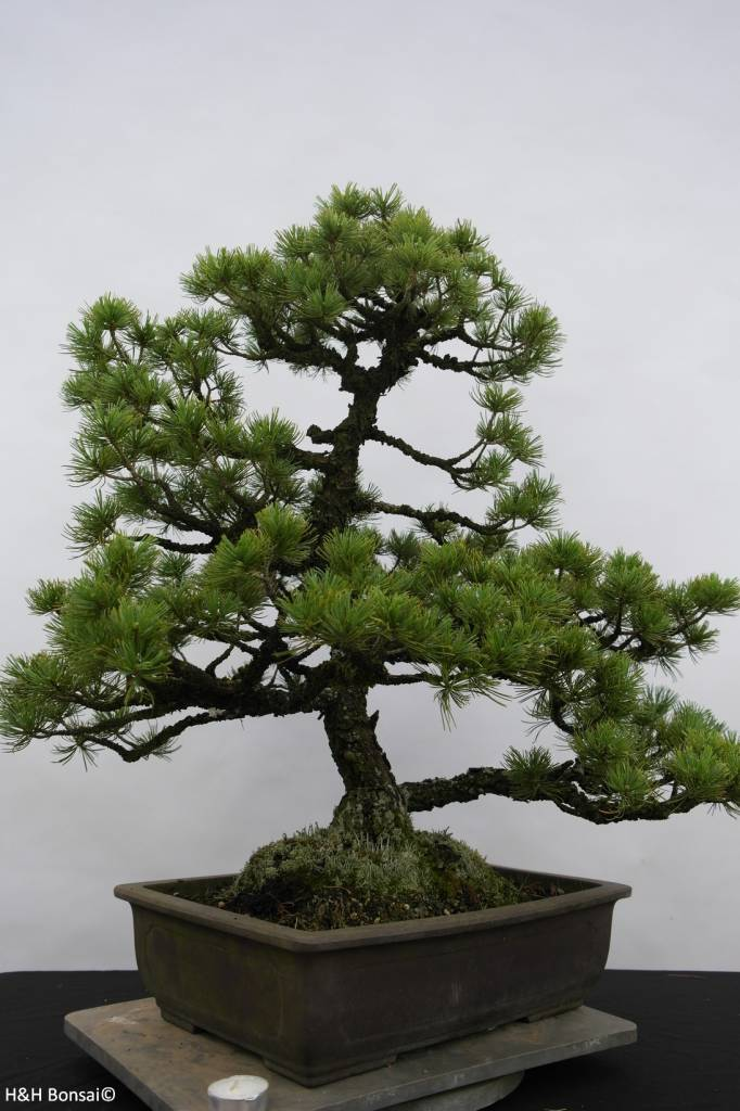 Bonsai Japanese White Pine, Pinus pentaphylla sp., no. 6433