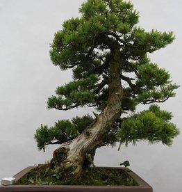 Bonsai Pino bianco, Pinus pentaphylla, no. 6434