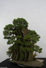 Bonsai Ginepro, Juniperus chinensis, no. 6437
