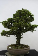 Bonsai Picea sp., no. 6438
