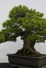 Bonsai Pino bianco azuma, Pinus parviflora azuma, no. 6440