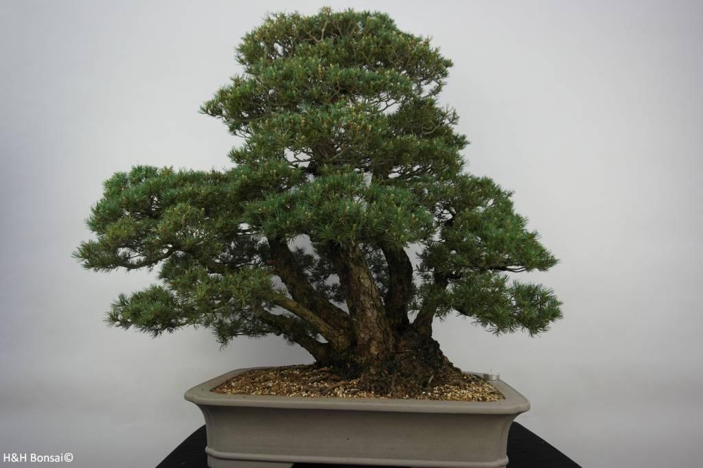 Bonsai Pino bianco kokonoe, Pinus parviflora kokonoe, no. 6452