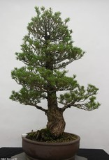 Bonsai Pino bianco kokonoe, Pinus parviflora kokonoe, no. 6454