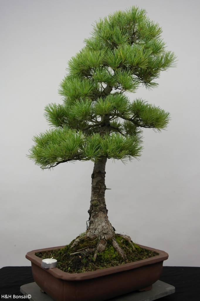 Bonsai Pino bianco azuma, Pinus parviflora azuma, no. 6456