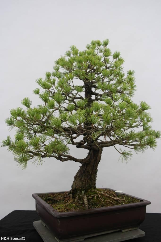 Bonsai Pino bianco, Pinus pentaphylla, no. 6458