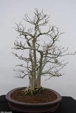 Bonsai Faggio crenata, Fagus crenata, no. 6459