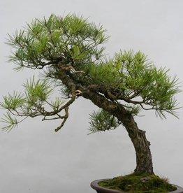 Bonsai Pino rosso del Giappone, Pinus densiflora, no. 6460
