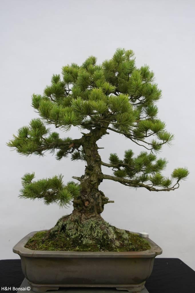 Bonsai Pino bianco pine azuma, Pinus parviflora azuma, no. 6462