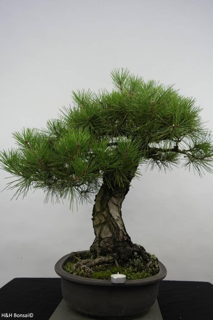 Bonsai Pino nero, Pinus thunbergii, no. 6464