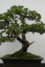 Bonsai Ginepro cinese, Juniperus chinensis, no. 6479